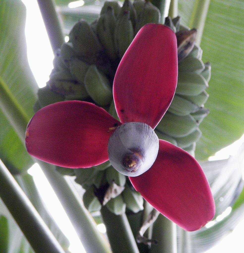 985px-Banana_flower_2008