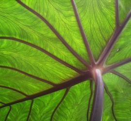 Taro_leaf_underside,_backlit_by_sun_-_edit